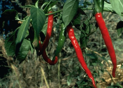 feasibility of cayenne pepper capsicum annuum Capsicum, or cayenne pepper, truly is a king among the herbal family and is one of the greatest health secrets of all time it is hot, yes, and tough to swallow - literally.