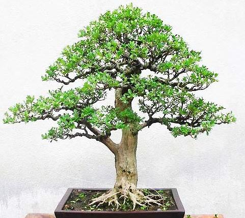 Chinese Boxwood bonsai  seeds buxus microphylla