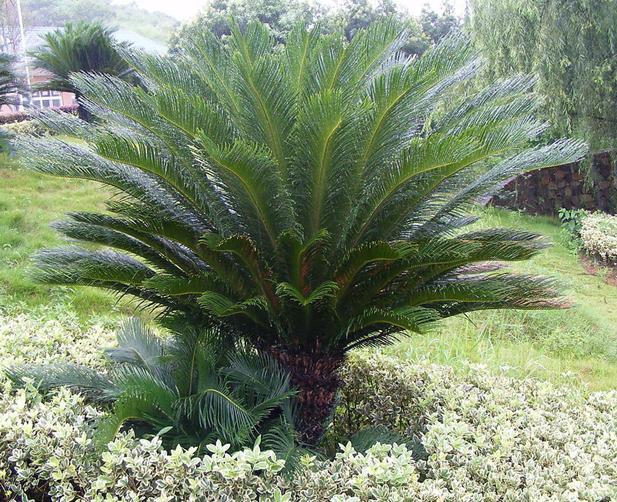 Cycas Revoluta Care Cycas Revoluta Seeds Sago Palm