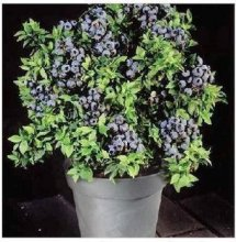 DWARF BLUEBERRY SEEDS Bonsai Edible