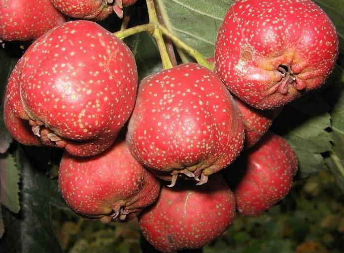 Hawthorn Tree Berries Hawthorn Berry Seeds Crataegus