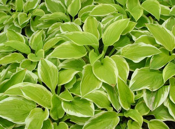 ... including white, yellow and lime green variegated leaves. This packet  contains a mix of various species to give you landscaping some real flavor. - Hosta SEEDS ZHONG WEI Horticultural Products Company,(TOP QUALITY