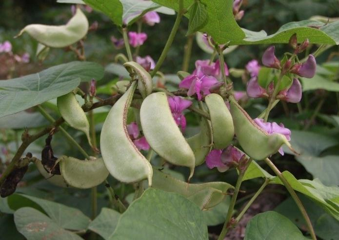 Hyacinth Bean seed Lablab purpureus seeds Hyacinth Bean seed Lablab purpureus seeds