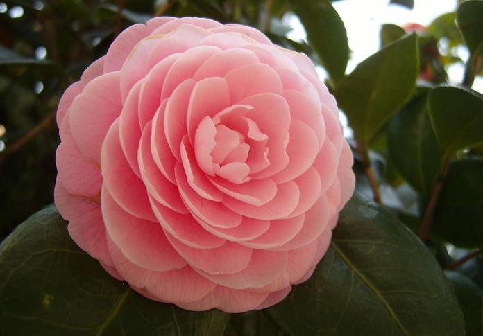 japanese camellia seeds camellia japonica zhong wei. Black Bedroom Furniture Sets. Home Design Ideas