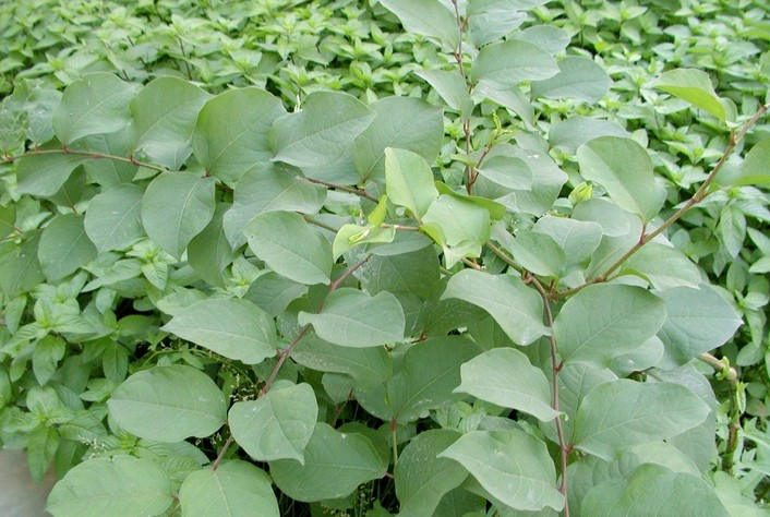 Japanese knotweed seed japanese knotweed seed