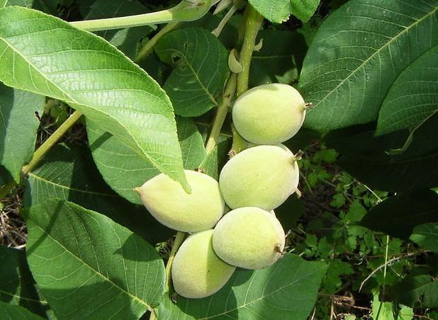 Juglans mandshurica seed