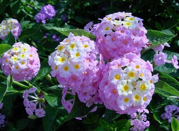 Lantana camara seed zhong wei horticultural products companytop plus if you have a very sunny spot indoors you can grow it as a charming indoor plant in frost free climates its a great perennial groundcover mightylinksfo