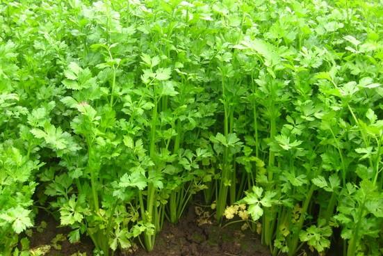 Celer (Apium graveolens) Leaf%20Celery%20Apium%20graveolens%20secalinum