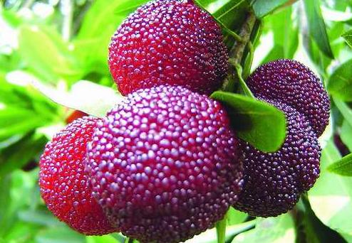 Myrica rubra seeds Yumberry Red Bayberry