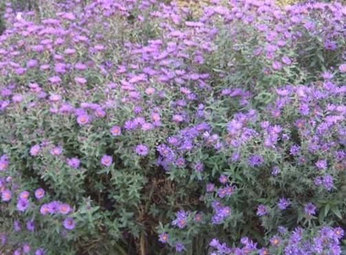 New England Aster seed