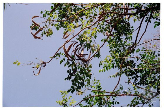 OROXYLUM INDICUM SEEDS MIDNIGHT HORROR TREE seeds