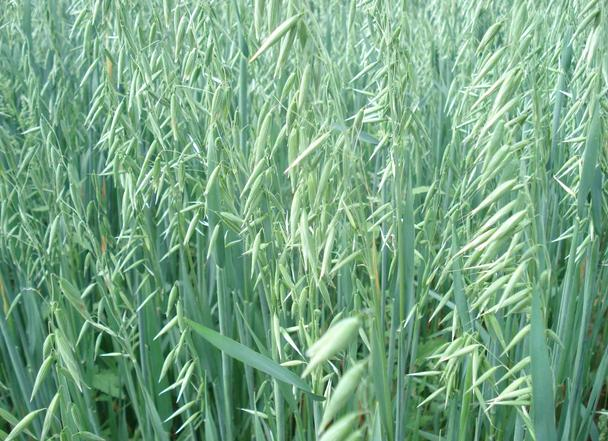 oat seed avena sativa zhong wei horticultural products