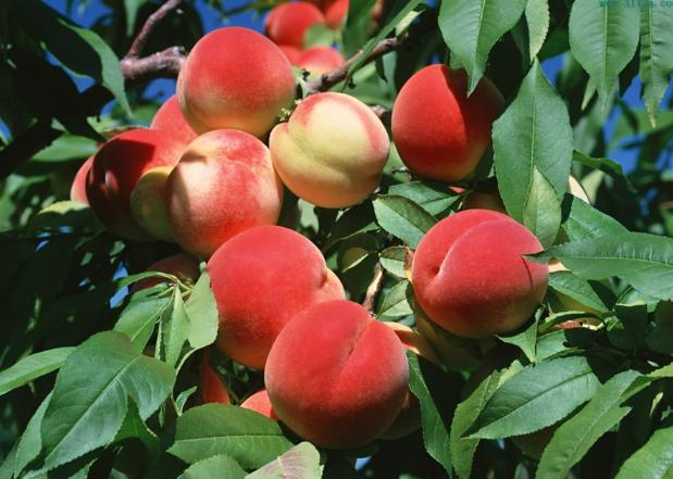 Peach Seeds chinese Prunus Tree seed | ZHONG WEI ...