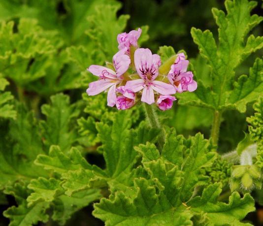 Pelargonium graveolens seeds Old Fashion Rose Geranium ...