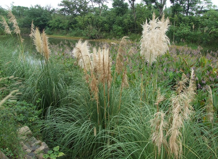 Phragmites communis seed | ZHONG WEI Horticultural ...