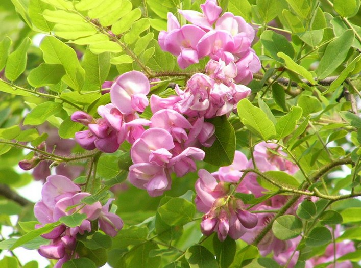 Pink locust tree seed zhong wei horticultural products company pink locust tree seed zhong wei horticultural products companytop qualityplant seedsvegetablestreesherbs mightylinksfo Choice Image
