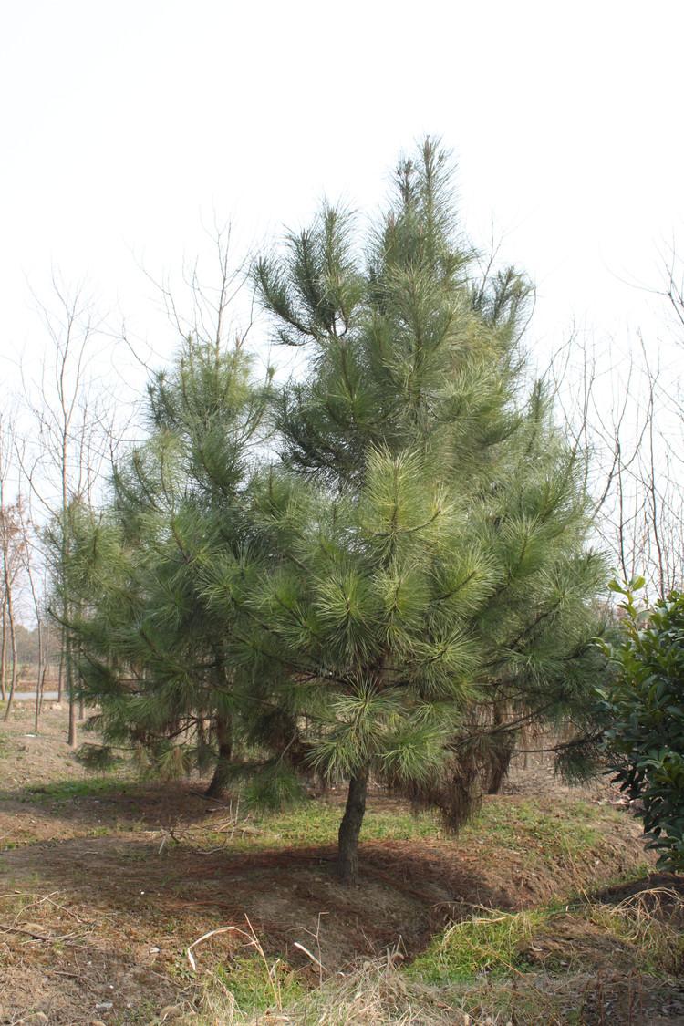 Pinus pinaster seed