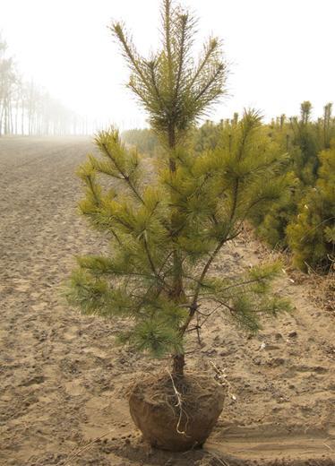 Pinus sylvestris bonsai tree seeds scots pine scotch pine zhong wei