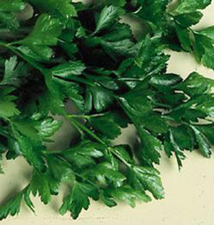 Plain Parsley Petroselinum seed crispum neapolitanum