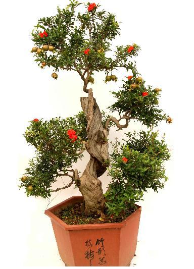Bonsai (bonsai, seeds, semi) - Social Shopping su VenireAlSodo.com