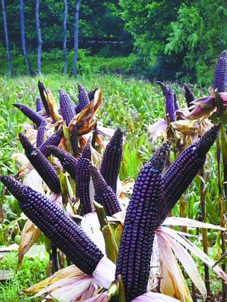 Purple Maize seed