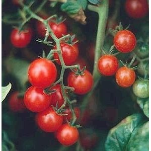 Red Currant Tomato  Lycopersicon pimpinellifolium