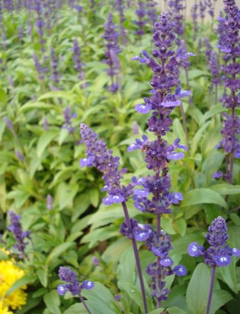 Salvia Officinalis Plant Salvia Officinalis Seed Salvia