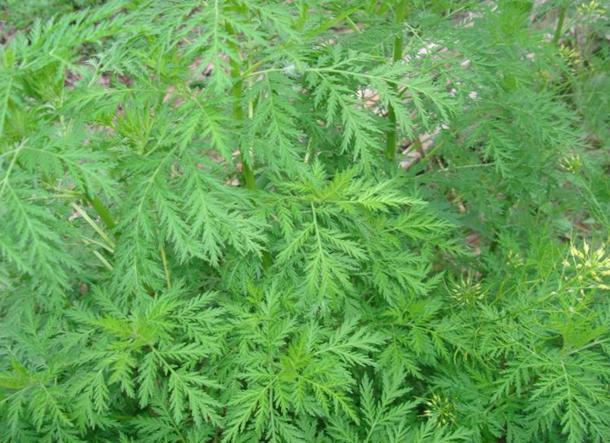 Annua Seeds Artemisia Seeds Annua