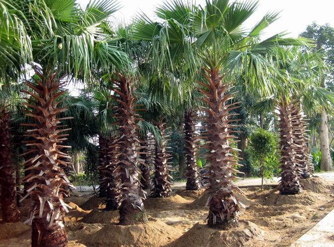 washingtonia filifera seeds california fan palm zhong. Black Bedroom Furniture Sets. Home Design Ideas
