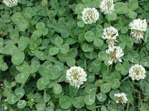 White Clover  Trifolium repens seed