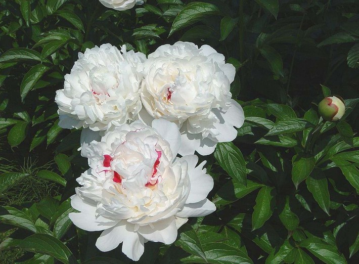 White Paeony Seed Zhong Wei Horticultural Products Company Top Quality Plant Seeds Vegetables Trees Herbs
