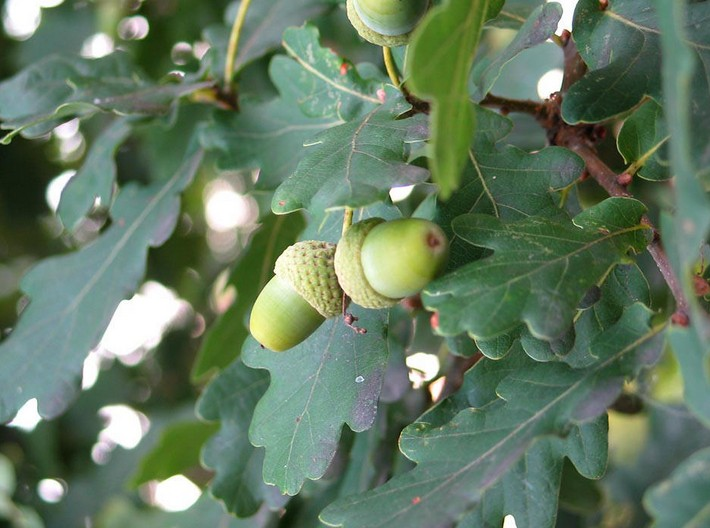 acorns Seed English Oak