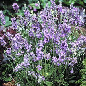 English Lavender Lavandula angustifolia