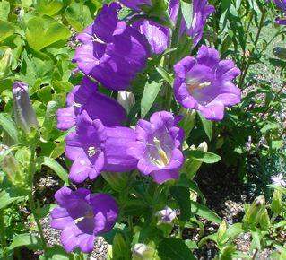 Campanula seed Bell flower