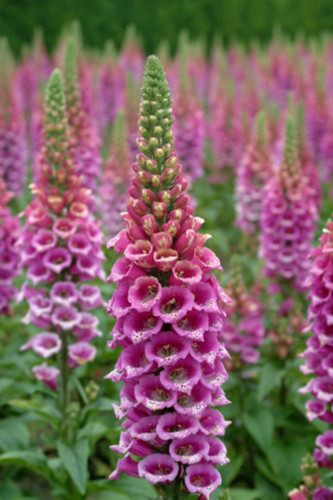 Purple Foxglove Digitalis purpurea