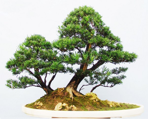 Podocarpus macrophyllus seed