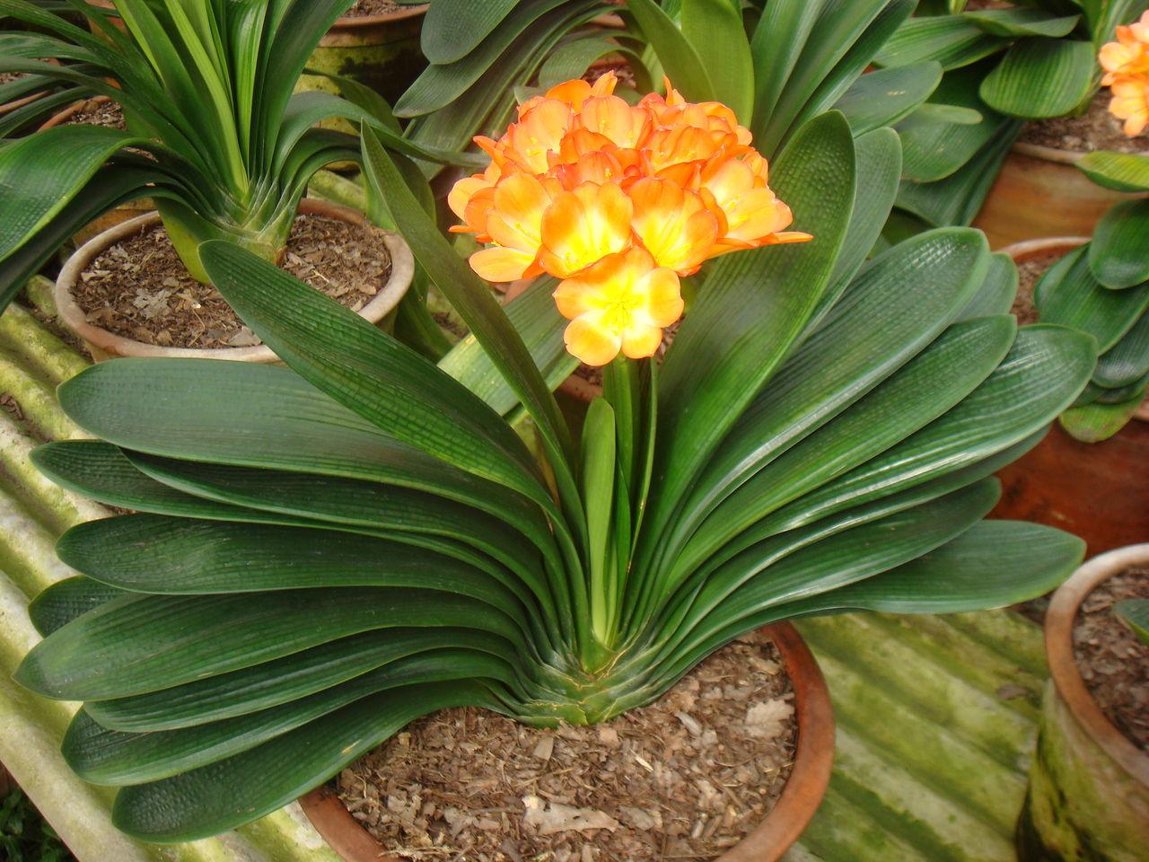 Домашние растения фото что за цветок