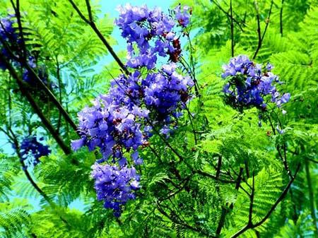 Jacaranda Mimosifolia seed Blue Tree blazing