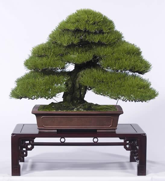 Japanese black pine Kuromatsu seed