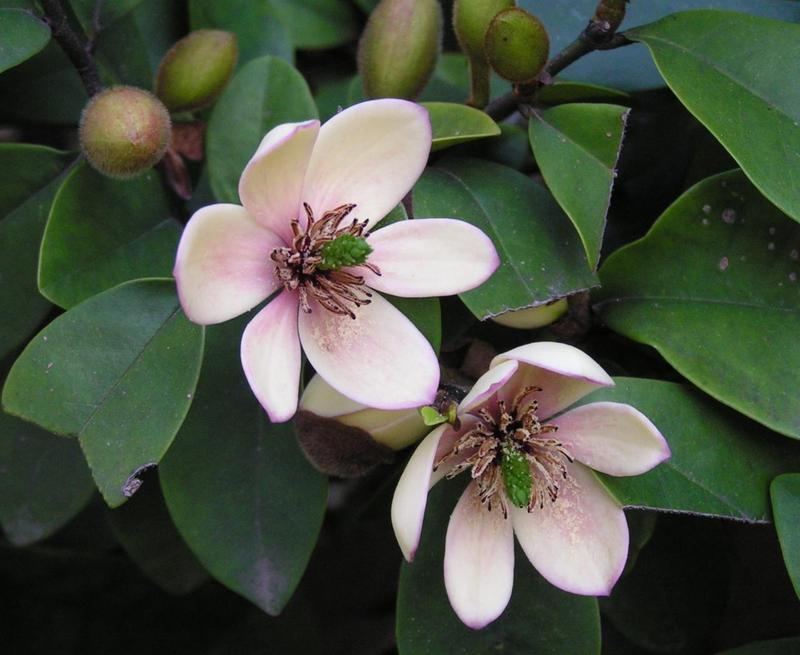 Sweet Fragrant Michelia Figo Seed Banana Shrub Zhong Wei