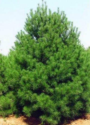 Pinus bungeana TREE SEED  Lacebark Pine