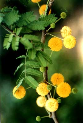 Acacia decurrens tree seed acacia bark early black wattle green masses of golden yellow ball shaped flowers in spring a hardy acacia and suited to most conditions fast growing and frost hardy to 7 c mightylinksfo