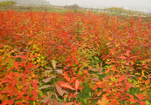 Nyssa sylvatica Black Tupelo Black Gum Seed  Brilliant Autumn Colour