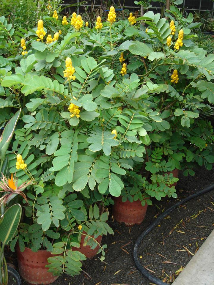 Cassia siamea Popcorn Tree seed  Senna siamea Kassod Tree