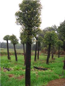 Tectona grandis Teak tree Seeds Teak wood Seeds