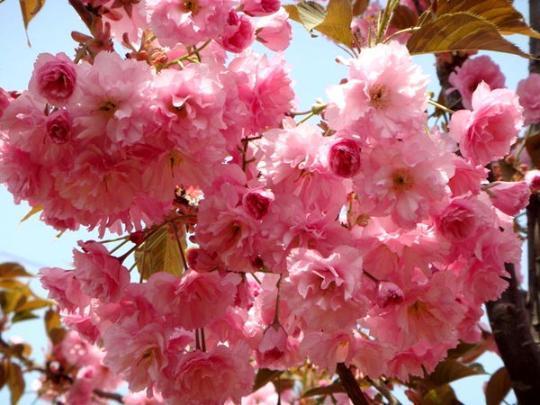 japanese flowering cherry tree seeds prunus serrulata  zhong wei, Natural flower