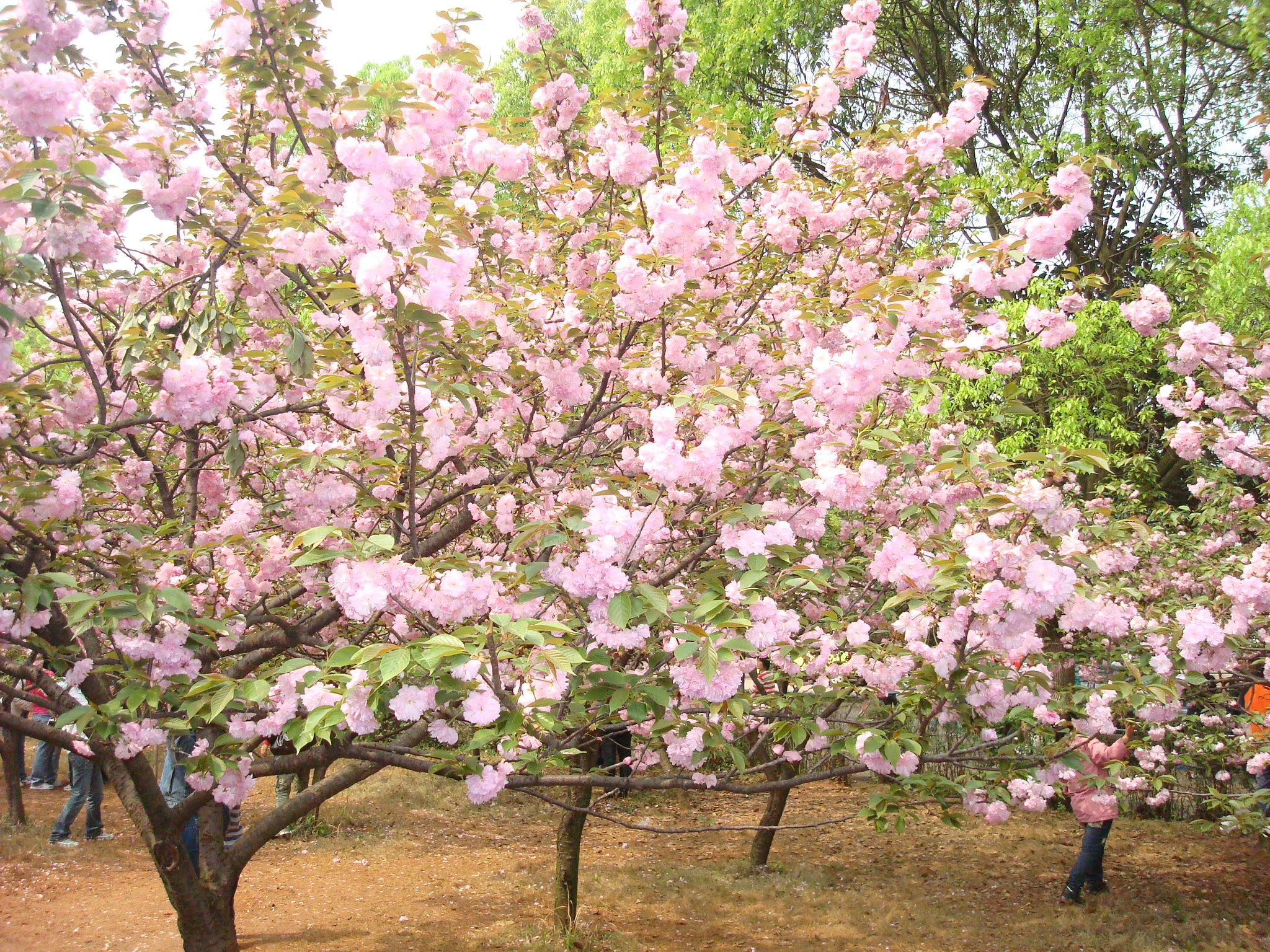 japanese flowering cherry tree seeds prunus serrulata  zhong wei, Natural flower