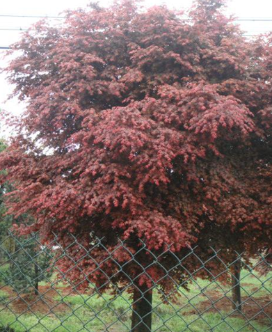 how to grow red robbin trees from clippings