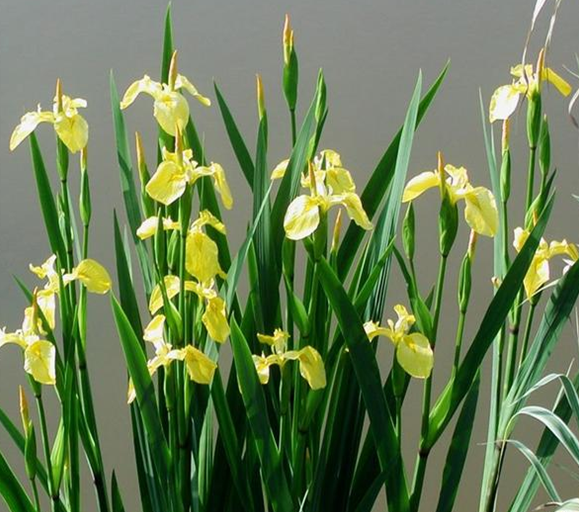 Iris pseudacorus seed Yellow Flag