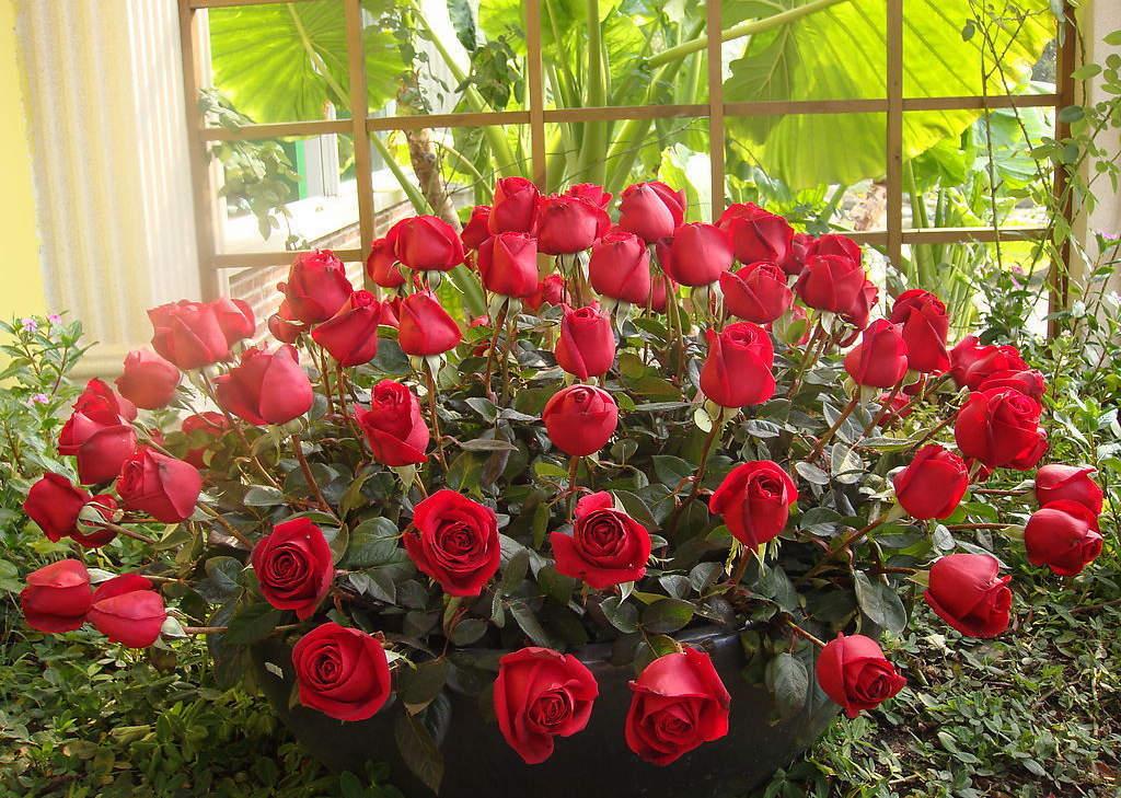 Rosa rugosa rubra seed Red Rugosa Rose